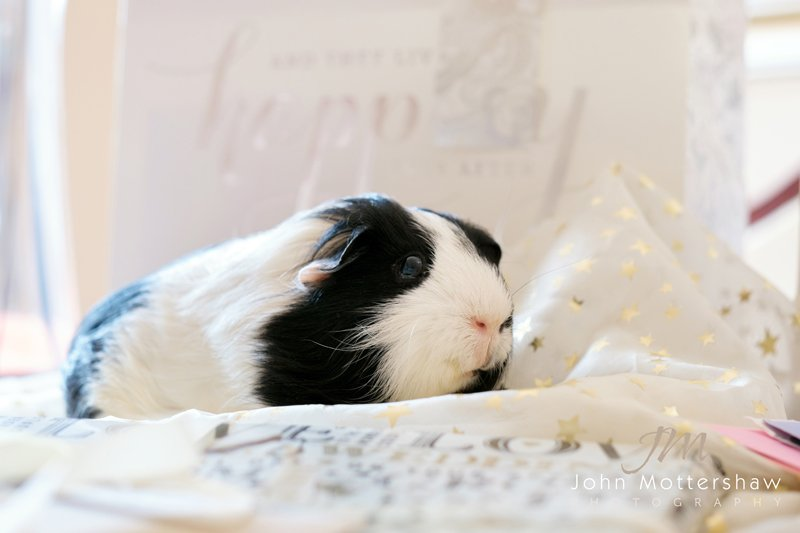Wedding guinea pig